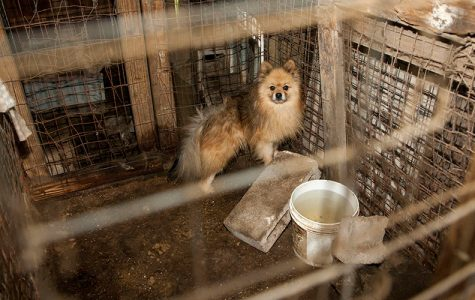 An Inside Look at Puppy Mills: The Hundreds Hurt